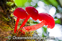 Australian Rainforest Fungi Photo - Gary Bell