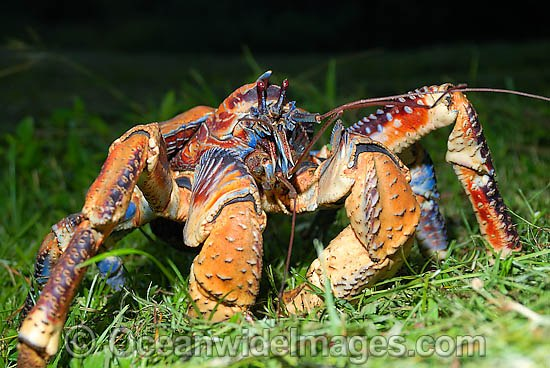 Robber Crab (Birgus latro). Also known as Coconut Crab. Christmas Island, situated in the Indian Ocean, Australia Photo - Justin Gilligan