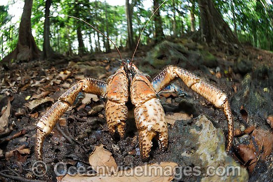 Robber Crab (Birgus latro) - in rain forest. Also known as Coconut Crab. Christmas Island, situated in the Indian Ocean, Australia Photo - Justin Gilligan