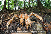 Robber Crab in rainforest Photo - Justin Gilligan
