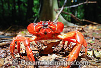 Christmas Island Red Crab Gecarcoidea natalis Photo - Justin Gilligan