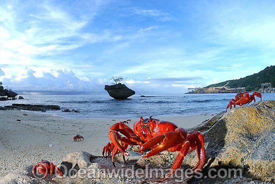 Photos Christmas Island Christmas Island Red Crab on