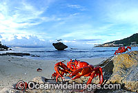 Christmas Island Red Crab on beach Photo - Justin Gilligan