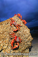 Christmas Island Red Crab on beach rock Photo - Justin Gilligan
