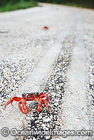 Christmas Island Red Crab crossing road Photo - Justin Gilligan