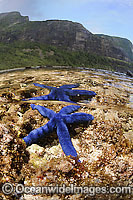 Blue Linckia Sea Star in rock pool Photo - Justin Gilligan