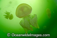 Blubber Jellyfish Catostylus mosaicus photo