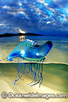 Portuguese Man-of-war Jellyfish photo