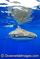 Whale Shark Christmas Island Photo - Justin Gilligan