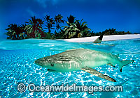 Blacktip Reef Shark Christmas Island photo