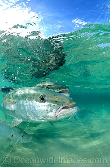 Yellow-tail Kingfish Seriola lalandi photo