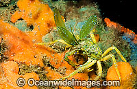 Spider Crab Naxia aurita Photo - Gary Bell