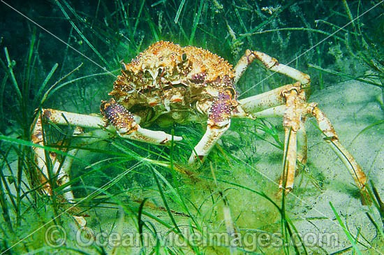 Giant Spider Crab (Leptomithrax gaimardii) - amongst sea grass. Found in Albany, WA, to Sydney, NSW, including Tas. Usually in deep water, but seasonally seen aggregating in shallow water. Australia Photo - Gary Bell