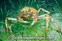 Spider Crab Leptomithrax gaimardii Photo - Gary Bell