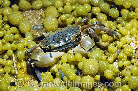 Shore Crab (species uncertain) - amongst bubble algae, situated on exposed tidal platform. Mornington Peninsula, Victoria, Australia Photo - Gary Bell