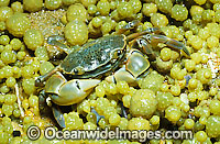 Shore Crab Photo - Gary Bell