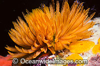 Fan Worm Sabellastarte australiensis Photo - Gary Bell