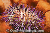 Sea Urchin Heliocidaris erythrogramma Photo - Gary Bell