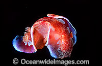 Spanish Dancer Hexabranchus sanguineus Photo - Gary Bell