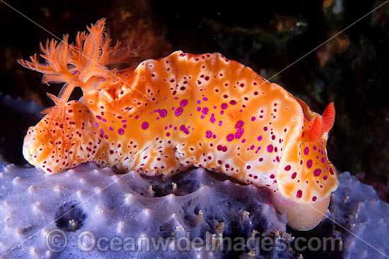 Nudibranch on sponge photo