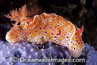 Nudibranch on sponge Photo - Gary Bell