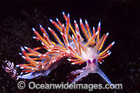 Flabellina Nudibranch Flabellina poenicia Photo - Gary Bell