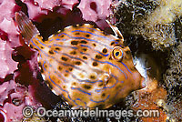 Mosaic Leatherjacket Eubalichthys mosaicus photo