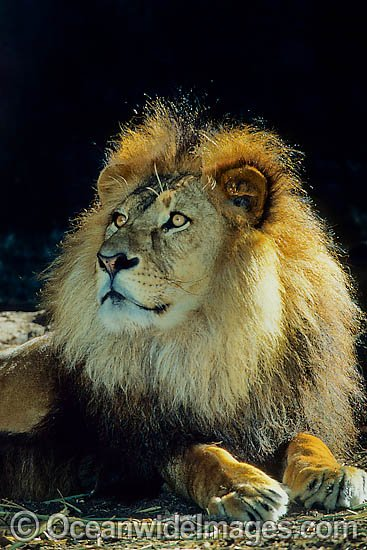 Lion (Panthera leo) - adult male. African Lion. Captive animal Photo - Gary Bell