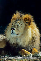African Lion image