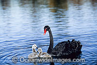 Black Swan and cygnets photo