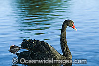 Black Swan Cygnus atratus photo