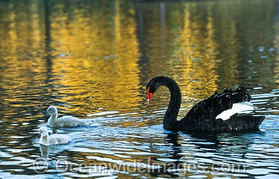 Black Swan (Cygnus atratus) - with cygnets. Black Swans feed on aquatic vegetation and can be found throughout Australia in wetlands, including lakes, flooded pastures and estuaries. Photo - Gary Bell