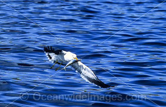 Pacific Gull (Larus pacificus) - with a captured herring. Endemic Australian species, commonly seen along the south-western and southern coasts of Australia, scarcely seen elsewhere. Photo - Gary Bell