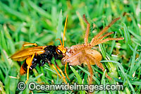 Mud wasp with spider image