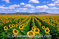 Sunflowers Photo - Gary Bell