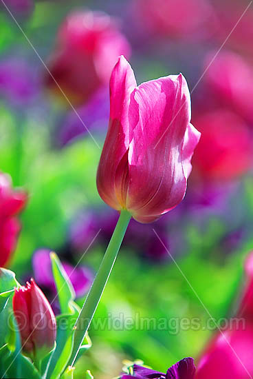 Tulip Flower. Canberra, ACT, Australia Photo - Gary Bell