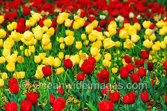 Bed of multi-coloured Tulip Flowers. Canberra, ACT, Australia Photo - Gary Bell