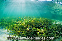 Seagrass Heterozostera tasmanica photo