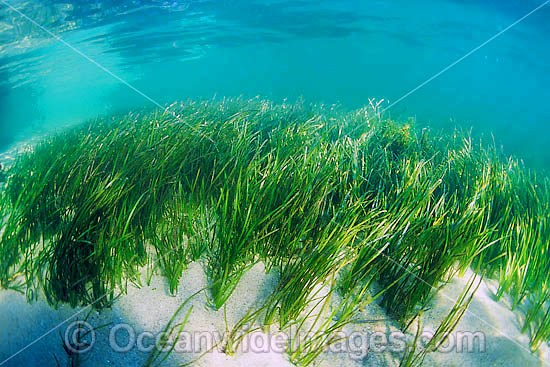 Seagrass (Heterozostera tasmanica). Found in shallow sheltered sea beds on moderately exposed sand in temperate Australian waters. Photo taken in Nelson Bay, New South Wales, Australia