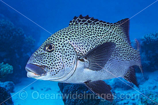 Many-spotted Sweetlips (Plectorhinchus chaetodontoides) - adult. Also known as Harlequin Sweetlips and Clown Sweetlips. Found inhabiting caves and crevices of coral reefs throughout tropical Australian waters including Great Barrier Reef. Also S.E. Asia.