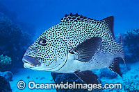Many-spotted Sweetlips Photo - Gary Bell
