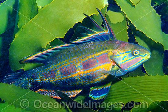 Rainbow Cale Odax Acroptilus Photo