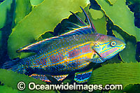 Rainbow Cale Odax acroptilus photo