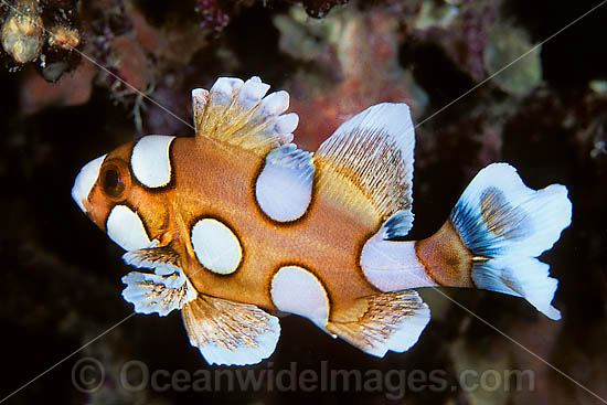 Many-spotted Sweetlips (Plectorhinchus chaetodontoides) - juvenile. Also known as Harlequin Sweetlips and Clown Sweetlips. Found inhabiting caves and crevices of coral reefs throughout tropical Australian waters including Great Barrier Reef and Asia. Photo - Gary Bell