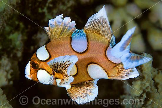 Many-spotted Sweetlips (Plectorhinchus chaetodontoides) - juvenile. Also known as Harlequin Sweetlips and Clown Sweetlips. Found inhabiting caves and crevices of coral reefs throughout tropical Australian waters including Great Barrier Reef and Asia.