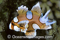 Many-spotted Sweetlips juvenile Photo - Gary Bell