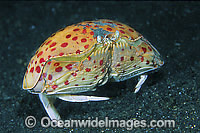 Box Crab Calappa calappa Photo - Gary Bell