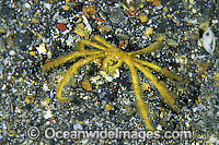 Spider Crab Achaeus japonicus Photo - Gary Bell