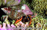 Hermit Crab Calcinus morgani Photo - Gary Bell