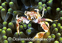 Spotted Porcelain Crab Photo - Gary Bell